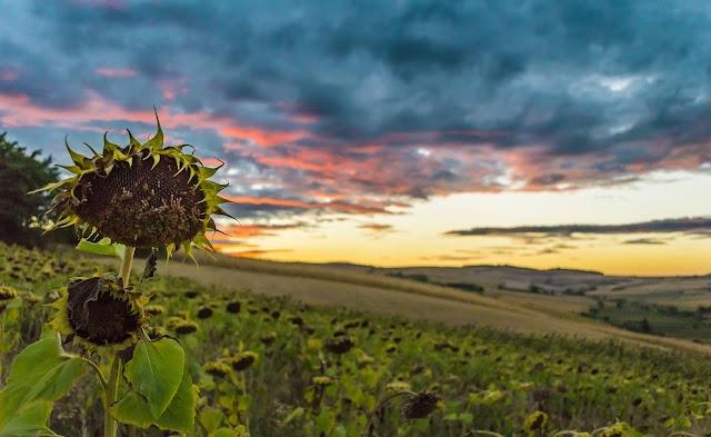 Sunflower with sunset sky