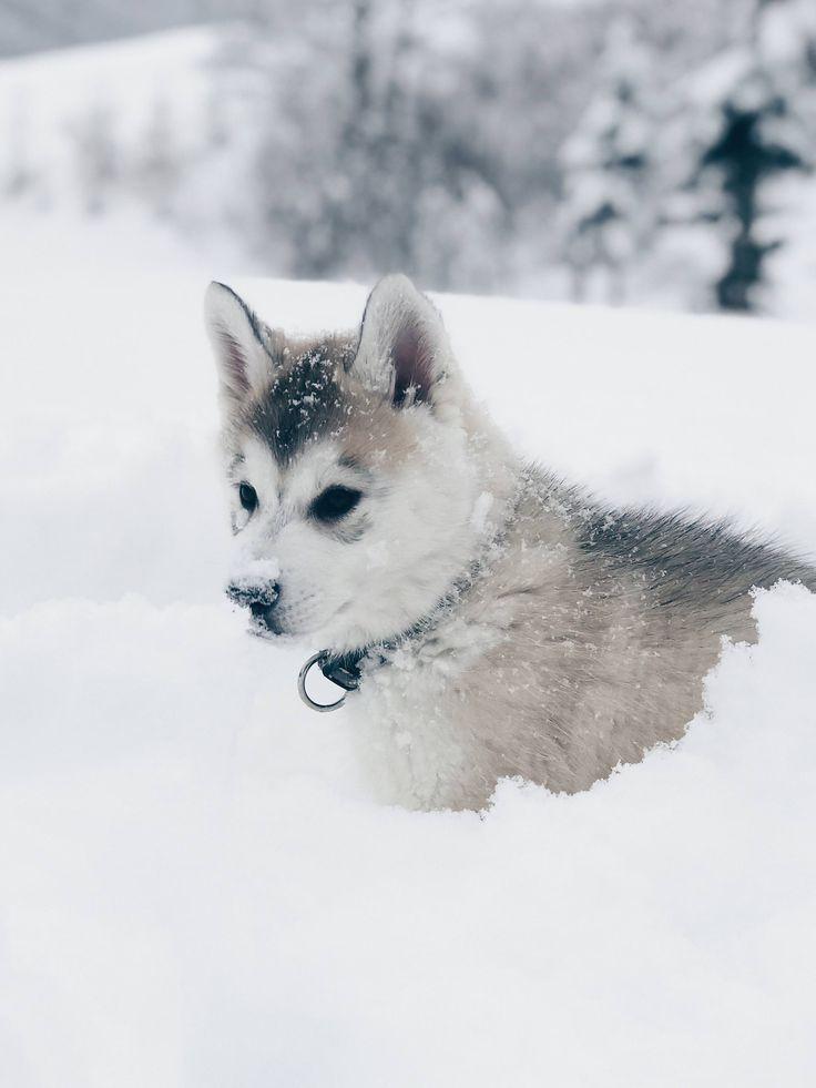 5 Facts About The Siberian Husky Lady Sky Cats And Dogs House Sibirischer Husky Husky Hund Gluckliche Hunde