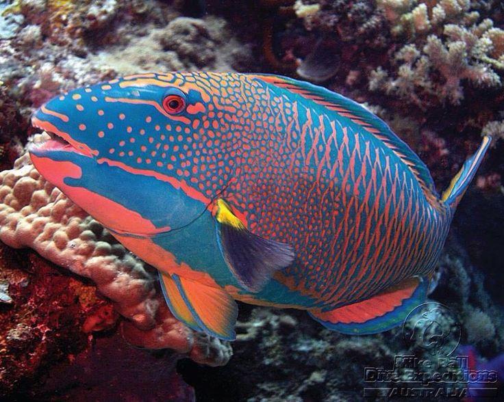 Bicolor parrotfish fiskar o fpglar pinterest havet for Colorful tropical fish