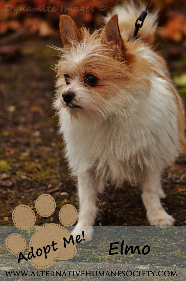 wire haired terrier chihuahua mix best 25 chihuahua terrier mix ideas on pinterest 3393