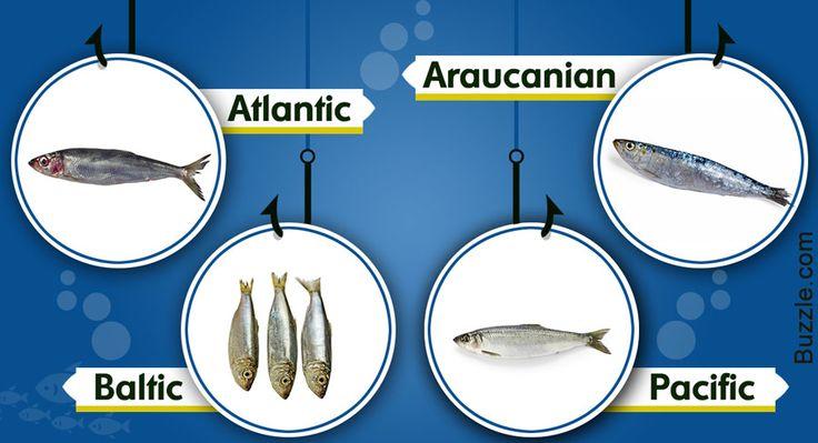 herring-species