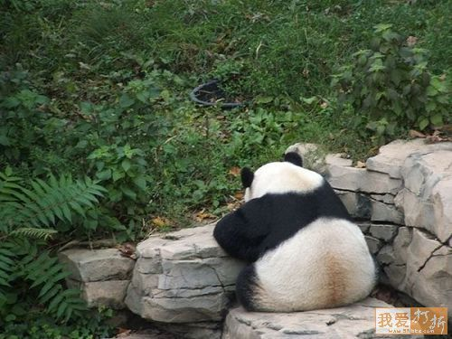 I Said I didn't want to talk about it.Stained, Awesome Animal, Dear God, Animal Pictures, Giants Pandas So, Giants Pandasso, White, Fluffy Things, Fluffy Butt