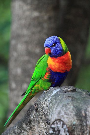 The Rainbow Lorikeet is a species of Australasian parrot found in Australia, eastern Indonesia (Maluku and Western New Guinea), Papua New Guinea, New Caledonia, Solomon Islands and Vanuatu. Photo by Donovan Wilson (Can be purchased on Red Bubble).