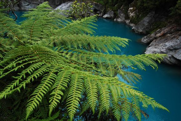 Native fern growing next to the Blue Pools on the West Coast of New Zealand's South Island. Photo: Daniel Pietzsch | CC BY-NC 2.0