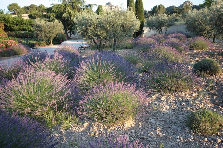 Flore de provence la lavande l 39 oliviers et le cypr s - Arbre provencal ...