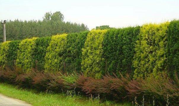 Хвойные растения обладают удивительным качеством - они способны одним свои присутствием придать благородство  даже самому непривлекательному саду.