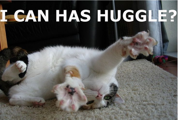 i can haz cheeseburger cats | cute huggy kitten pic i can has huggle lolcat funny cat picture