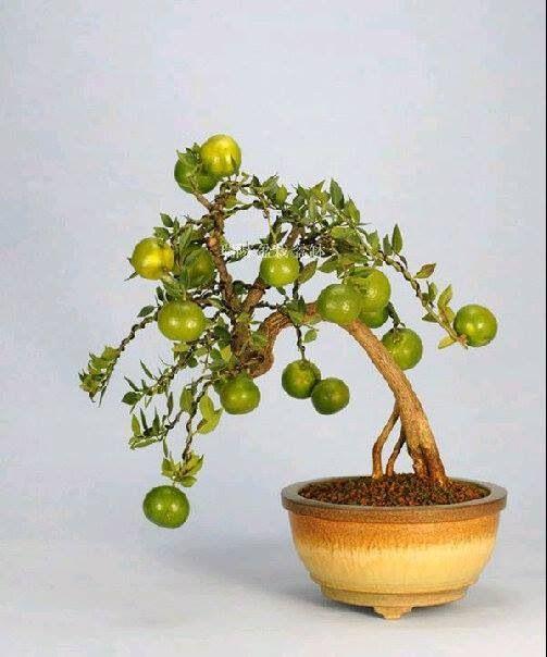 427 Best Images About Bonsai On Pinterest Bonsai Trees