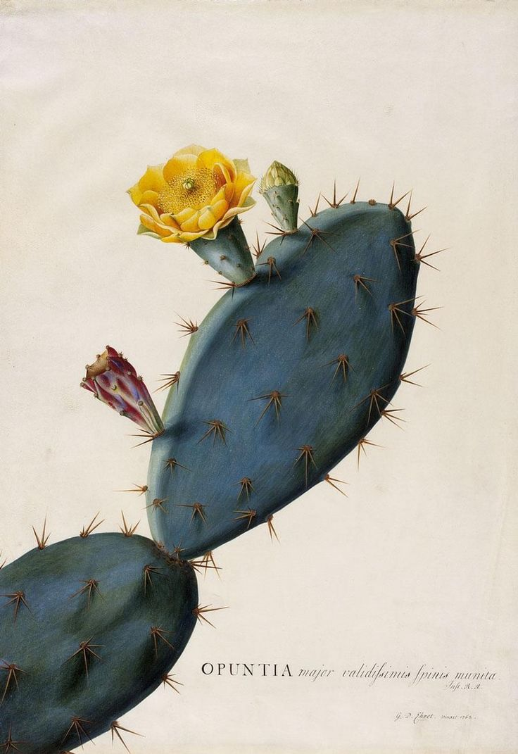 Prickly pear, Opuntia ficus-indica, by Georg Dionysius Ehret, London, 1761. Watercolour painting on vellum
