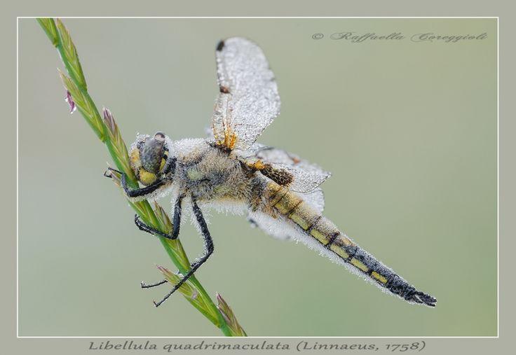 Nikonclub.it - Libellula quadrimaculata (Linnaeus , 1758)