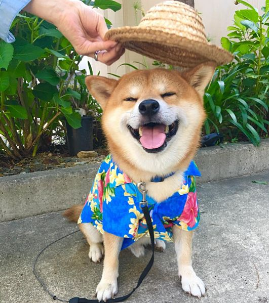 Shiba Inu Berry is in vacation mode!