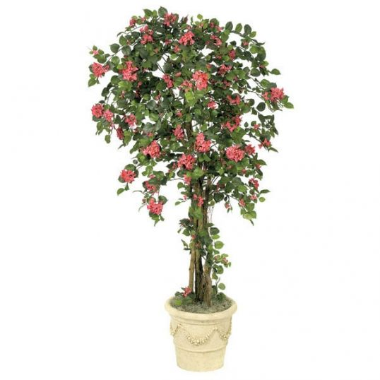 6 foot Bougainvillea Tree: Potted