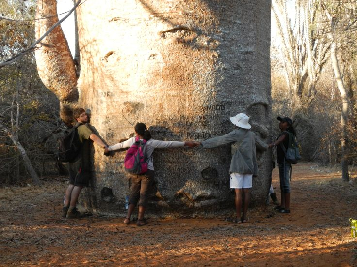 Cal U students measuring the girth of an enormous tree during a summer study abroad experience in Madagascar.