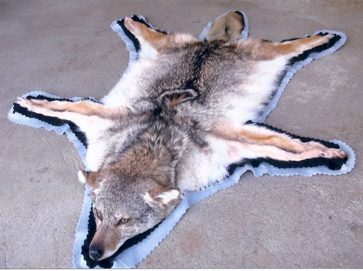 Coyote Rug...yep about to have one of these bad boys after tonight!