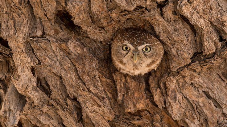 """Peek-a-hoot!"" in Kgalagadi Transfrontier Park, South Africa ©Gerrie Rall"