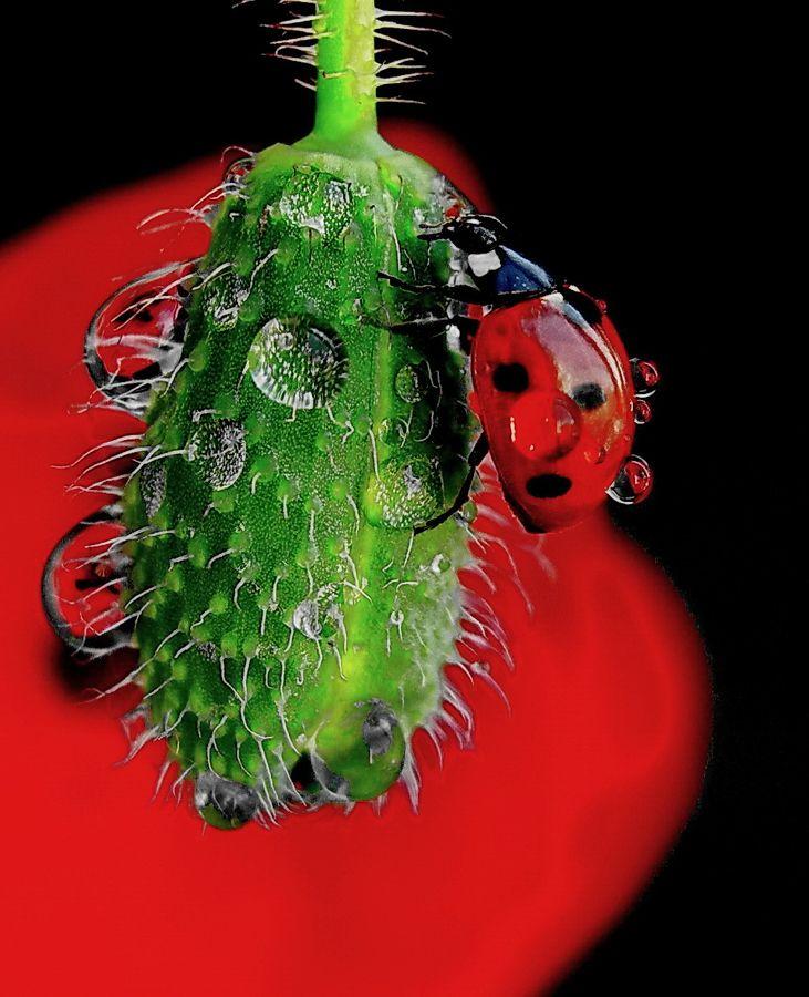 Dewy ladybug by Tugba Kiper on 500px