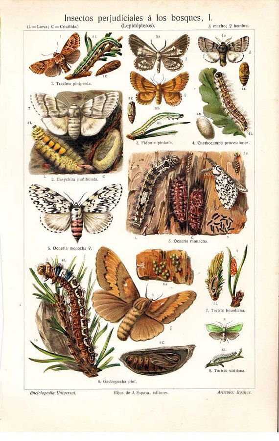 Moths and Butterflies Antique Chromolithograph by carambas on Etsy, $16.00: Originals Antiques, Butterflies Antiques, Insects Originals, 1894 Forests, Chromolithograph Prints, Antiques Bugs, Antiques Chromolithograph, Bugs Prints, Bugs Insects