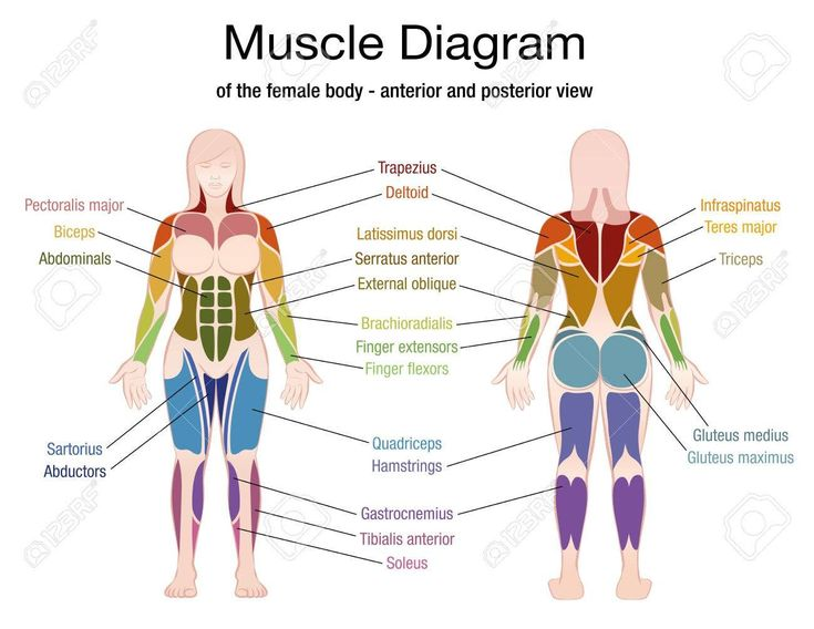 Female Muscles Diagram (With images) | Muscle diagram ...