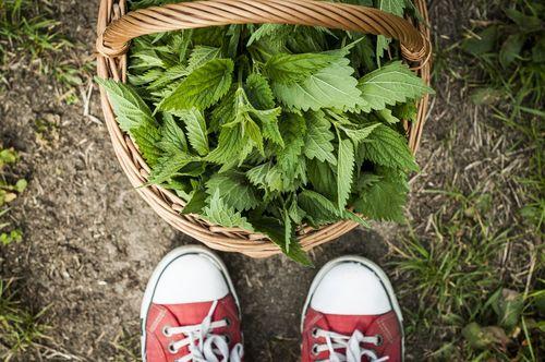 Kopřivy nejsou jen na to, abychom je nasypali housatům, popálili se o ně, nebo z nich jednou za rok udělali špenát. Využití kopřiv je mnohem širší. Jsou celé léčivé - od oddénků přes stonky a listy až po květy - a připravit z nich můžeme i výbornou polévku či bramboráky.