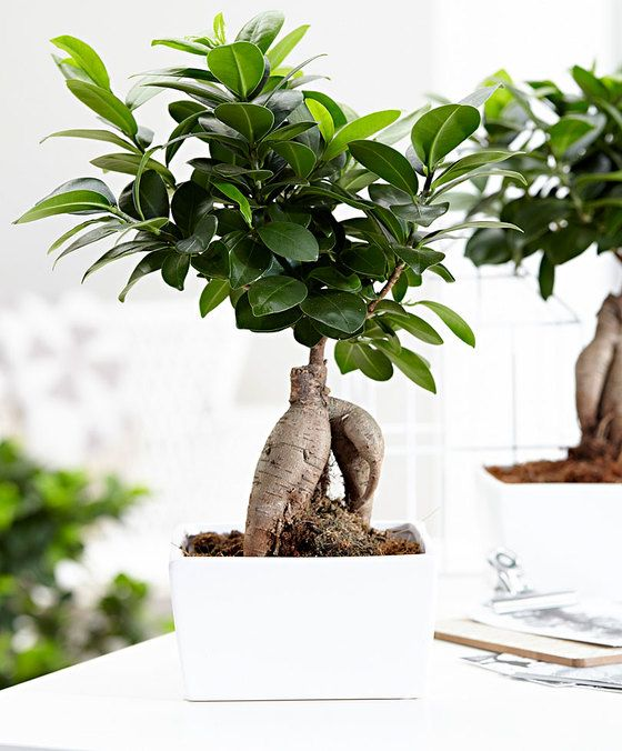 25 beautiful ficus microcarpa ideas on pinterest ficus ginseng bonsai bonsai ficus and ficus. Black Bedroom Furniture Sets. Home Design Ideas