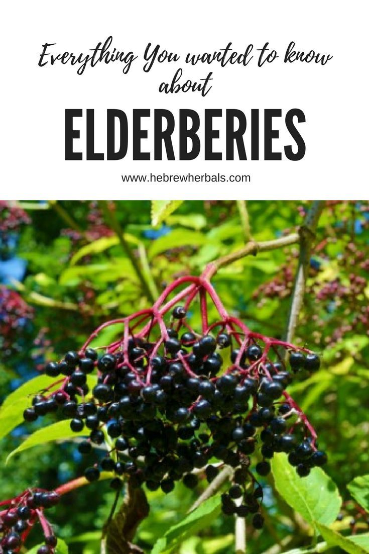 Elderberries are a powerful addition to your natural toolkit for keeping you and your family healthy. If you have not already benefitted from this tiny little powerhouse of a berry, try them today!  www.hebrewherbals.com