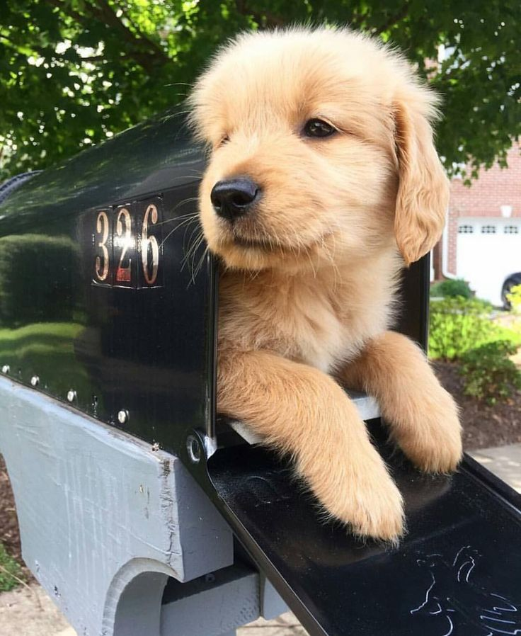 You Ve Got Mail Golden Retriever Cute Dogs And Puppies Dogs