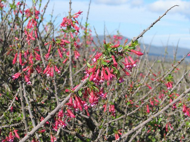 Fuchsia lycioides.