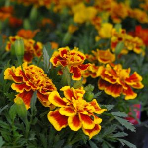 Marigolds - Deer Resistant plants / Pike Nurseries
