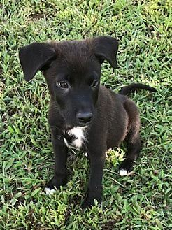 Pictures of Leon a Border Collie/Labrador Retriever Mix for adoption in Holly Springs, NC who needs a loving home.