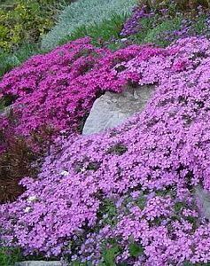 creeping Phlox - blooms in the spring.