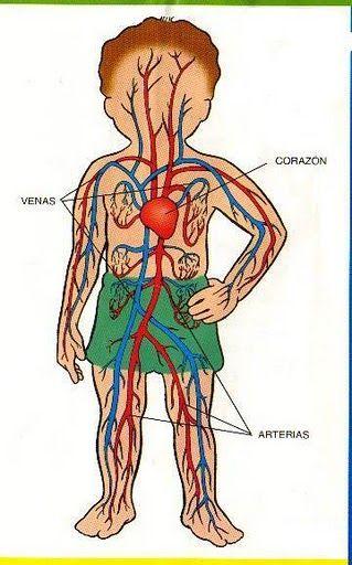 układ krążenia