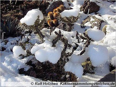 Kakteensammlung-Holzheu.de - winterharte Kakteen