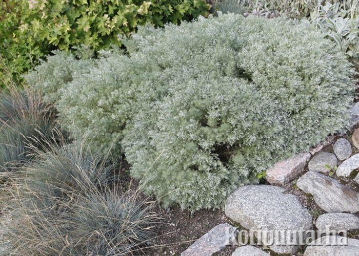 Ohotanmaruna (Artemisia schmidtiana) ja sininata (Festuca glauca). www.kotipuutarha.fi