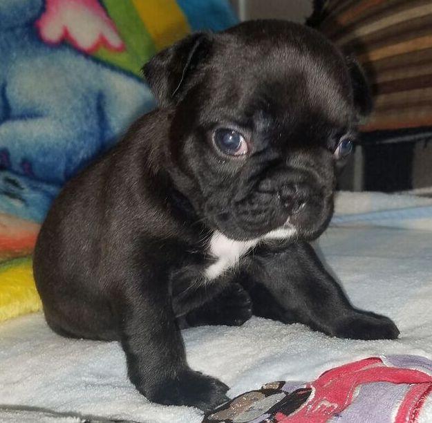 Gidget Is A Dark Brown Female French Bulldog Puppy American