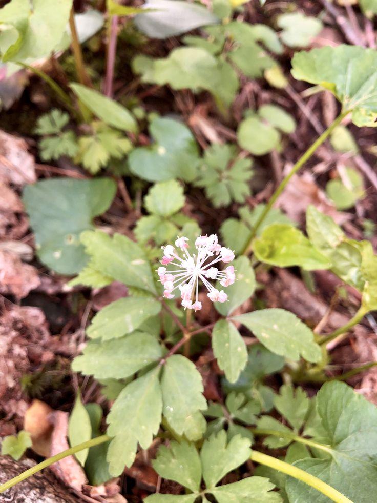 Dwarf ginseng wild flowers plants ginseng