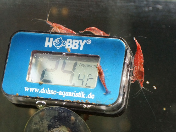 The red fire shrimps looks for the temperature