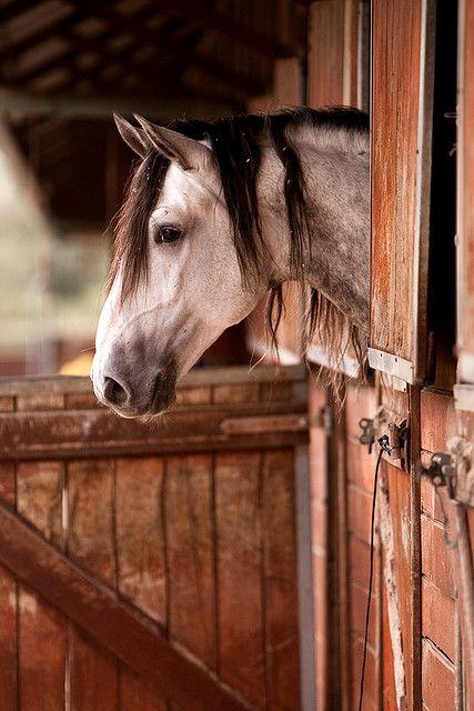 Dapple grey horse.