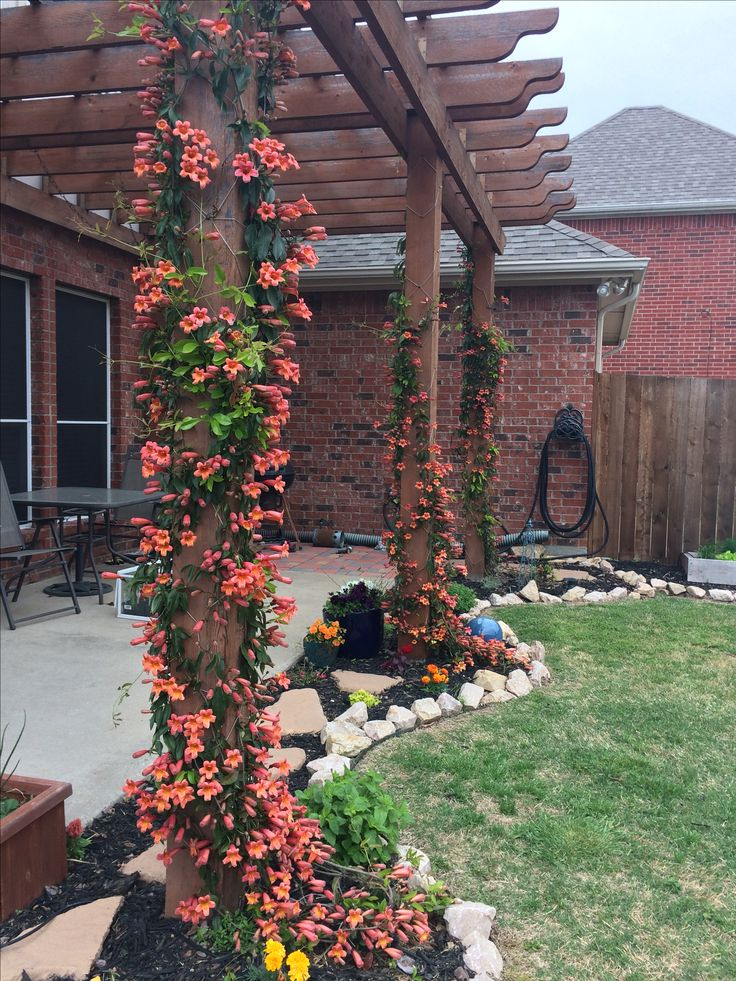 Tangerine Crossvine On Pergola North Texas Backyard