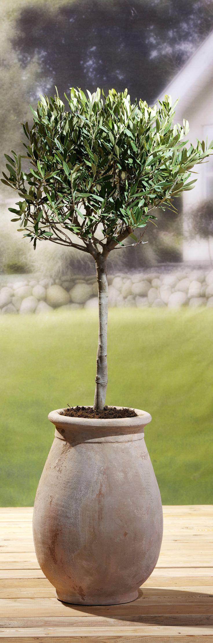 Oliven er et smukt træ, som skaber en sydlandsk stemning på terrassen om sommeren. #oliven #oliventræ #middelhavsplante #krukkeplante #olea #olive #plantorama