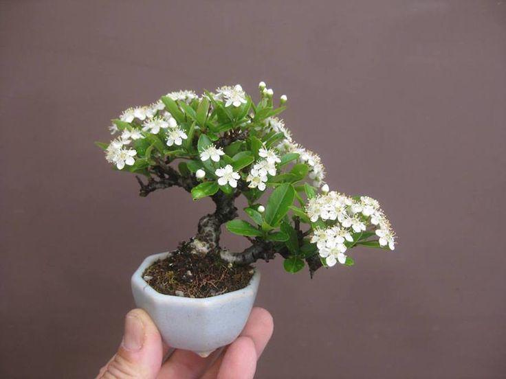 Pyracantha Mini Bonsai