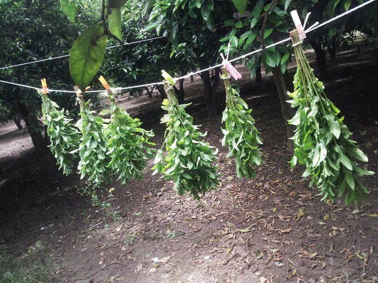 Drying mints...