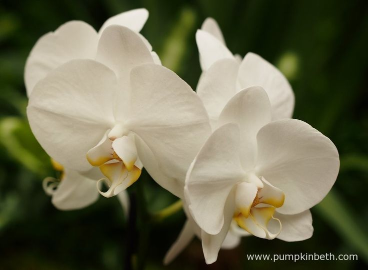 Phalaenopsis 'Cool Breeze' at The RHS London Orchid Show.