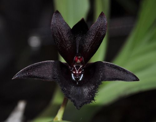 libutron:  Black Orchid - FredclarkearaBlack Lace 'Baker's Dark Angel' In nature, black flowers are rare. The reality is that there is almost no plant in the world that is truly black in color. Most are shades of deep blue or reds or purples. This is also true about orchid flowers. Growers and hybridizers have tried many different orchid plants and hybrid orchid varieties to try to get to a truly black flower. Among the most notable hybrids (since 2010) with truly black flowers (currently…