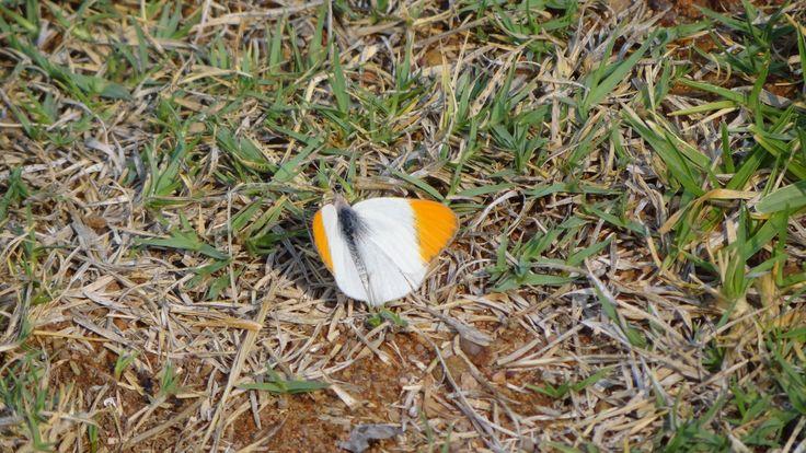Sulphar Orange Tip