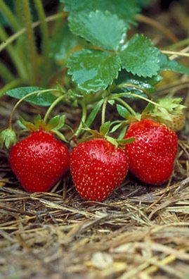 My maternal grandmother. Always had a huge patch of Strawberries. Best freezer jam ever!!!