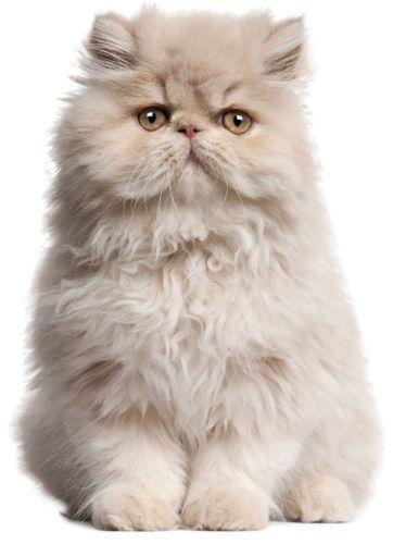 Tubes de chats pour vos créations
