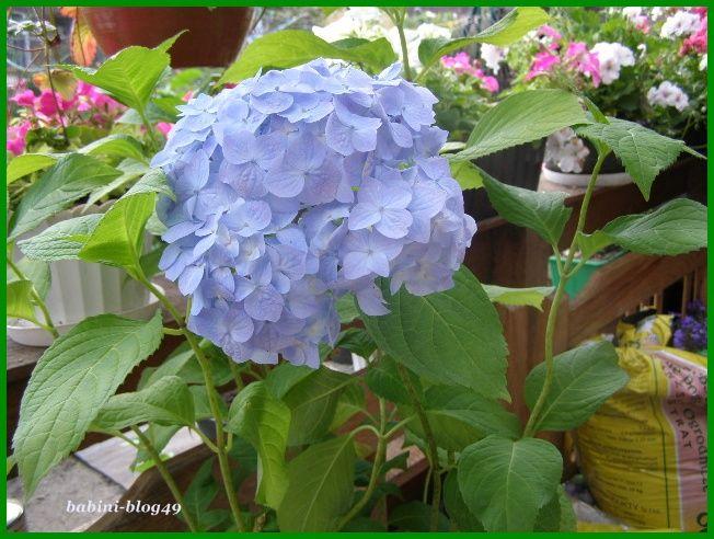 Hortensja - roślina kwasolubna