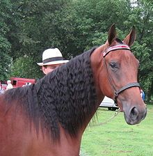 Tennessee Walking Horse - Wikipedia, the free encyclopedia