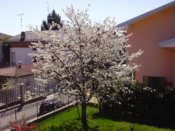 Ecco un bellissimo ciliegio in fiore che durante l'estate donerà rosse e saporite ciliegie. Non vorresti anche tu un albero così? http://www.lepiantedafrutto.it/piante-da-frutto/alberi-da-frutto-albero-da-frutto/