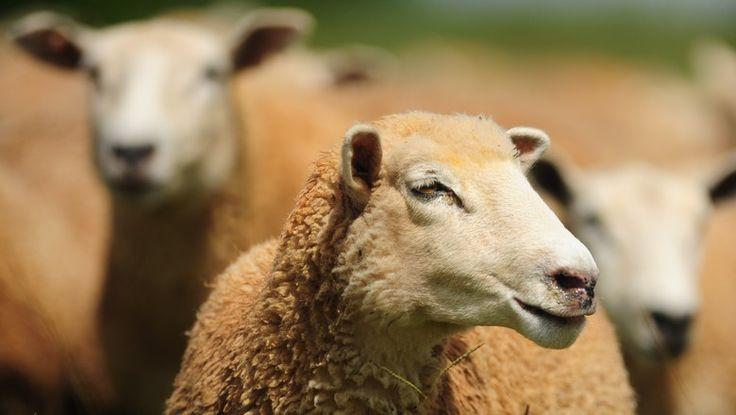 Com raças adaptadas às mais diferentes regiões do país, o animal gera vários produtos que têm demanda assegurada no mercado